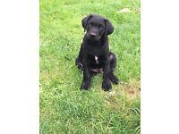 KC registered Pedigree Black Labrador Puppies