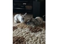 9 month old female lion head rabbits grey and white