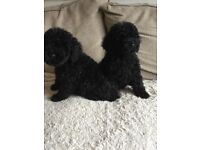 For sale 4 stunning cockerpoos