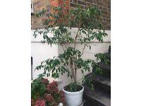 Beautiful ficus tree