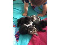 Kittens 2 black 1 black and white