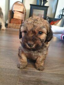 Lachon x Toy poodle