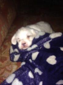 Shih Tzu Cross Jack Russel Puppy