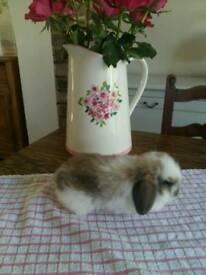 Gorgeous pure breed mini lop
