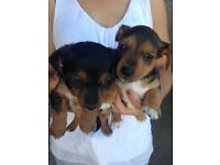 Yorkshire terrier cross jack Russell puppys