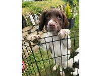 2 LEFT ! Ready To Leave Now English Springer Spaniel Puppies **