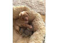 A tiny pedigree Toy Poodle