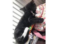 Female Kitten British long haired tuxedo
