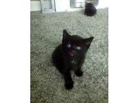 Beautiful black kittens