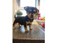 French bulldog x Chug Puppy