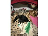 5 yorkie puppies for sale,Eastbourne