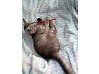 Female, Blue/Grey tabby kitten, 14 weeks old
