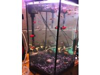 60 x tropical fish for fish tank very nice and very good look pic guppies different tetras Molly