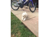 Maltese cross bichon frise