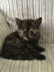 Female black and ginger kitten