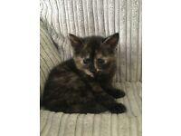 Female black and ginger kitten