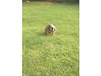 British bulldog pup