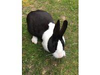 Duchess Rabbit for free