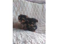Yorkshire Terrier Cross Maltese Pups