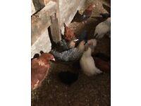 Hens,pullets,banties