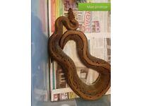 Adult male pinstripe royal