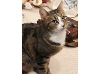 Missing Female Tabby Cat in Armley/Bramley Leeds REWARD