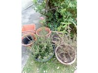 Free to collect today garden plants and pots