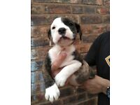 Old tyme bulldog puppies for sale