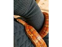 Corn snake and set up Willing to sell viv seperate