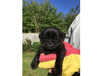 Black Pug Puppies For Sale!