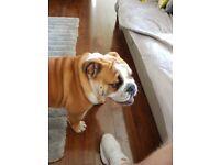 British bulldog pup for sale