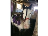 13hh 3 year old cob mare for sale