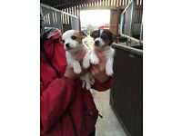 Cheeky Jack Russel Puppies