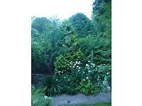 conifer tree buyer to remove