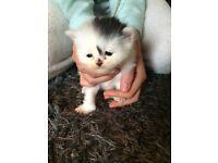 Half Persian adorable kittens
