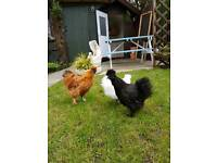 Pair of young silkies