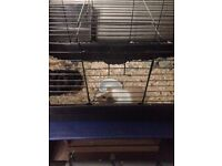 2 guinea pigs with cage (brothers) very friendly love to be cuddled