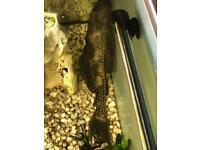 Large Pleco Fish 25cm