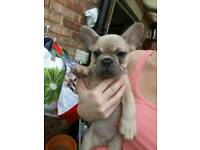 Male kc registered french bulldog last one