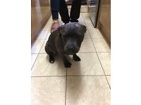 BLUE STAFFORDSHIRE BULL TERRIER PUP