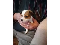 Jack Russells puppy