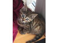Female tabby Kitten for sale- very pretty.