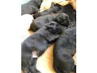 Labrador KC registered Puppies ready for loving home 20th August