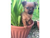 Chihuahua/Pom x jack