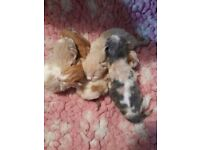 FIVE KITTENS 1/4 PERSIAN
