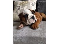 PRECIOUS BULLDOG PUPPIES FOR SALE
