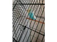2 budgie hens with cage