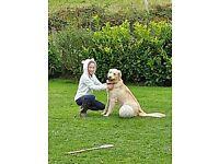 Golden Retriever pure bred Pups