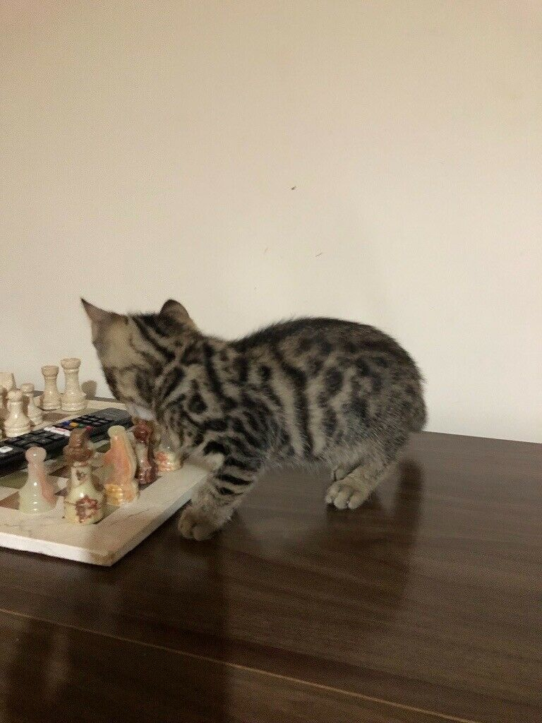 Reduced Xx Beautifully Marked Half Bengal Kittens For Sale Xx In Leeds West Yorkshire Gumtree