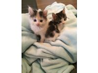 8 week old kittens looking for their forever loving homes